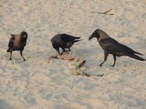 乌鸦吃在海滩野生生物的海蛇 库存图片