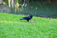 乌鸦吃着另一只死的鸟 免版税库存图片