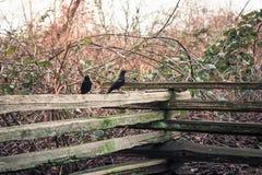 乌鸦和乌鸦在篱芭 库存照片