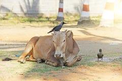 乌鸦和母牛在印度 一只黑乌鸦坐母牛 库存照片