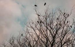 乌鸦和daws在一棵死的树 库存照片