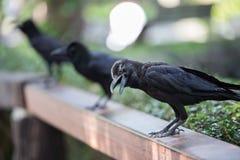 乌鸦在庭院里 免版税库存图片