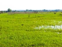 乌鸦在沼泽 免版税库存照片
