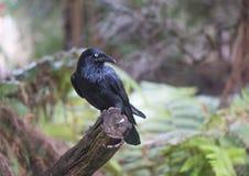 乌鸦坐分支在澳大利亚 免版税库存照片