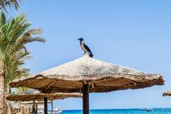 乌鸦坐在海滩的一把沙滩伞 免版税库存图片