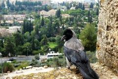 乌鸦坐耶路撒冷墙壁  免版税图库摄影