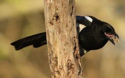 从乌鸦家庭鸦科的哺养的鹊12点活字12点活字与它的嘴开放用在它的舌头的食物 免版税图库摄影
