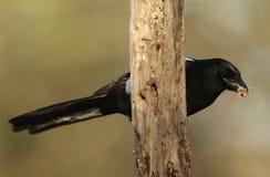 从乌鸦家庭鸦科的哺养的鹊12点活字12点活字用在它的额嘴的食物 库存图片