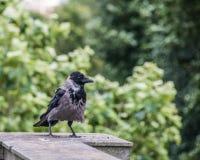 乌鸦座corone,黑和灰色吃腐肉的乌鸦 免版税库存图片