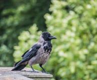 乌鸦座corone,黑和灰色吃腐肉的乌鸦 图库摄影