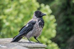 乌鸦座corone,黑和灰色吃腐肉的乌鸦 免版税库存照片
