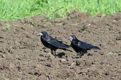 乌鸦座frugilegus 两只白嘴鸦寻找在领域的食物 库存图片