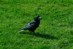 乌鸦座frugilegus -巨石阵掠夺和乌鸦 库存照片