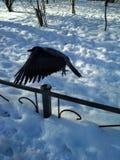 乌鸦的飞行 图库摄影