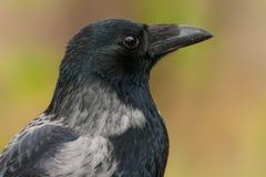 乌鸦的画象 库存图片