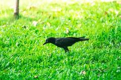 乌鸦背景在泰国的公园 免版税库存照片