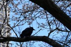 乌鸦身分的行动在树和吹的树叶子的 库存照片