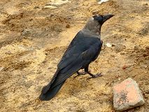 乌鸦鸟看见自然美丽 免版税库存照片