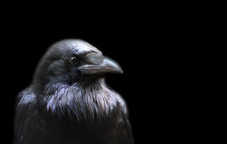 乌鸦 免版税库存图片