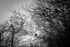 乌鸦 免版税图库摄影