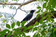 黑乌鸦 库存图片