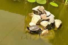 乌龟上升了在岩石的水外面 免版税库存照片