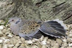 乌龟取暖在海滨的鸠鸟 免版税库存图片
