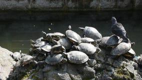 乌龟和草龟在石装饰设计在池塘 影视素材