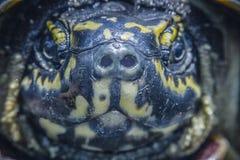 乌龟图象的面孔关闭 免版税库存图片