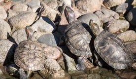 乌龟在一个池塘在动物园里 免版税库存照片