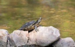 乌龟。 库存图片