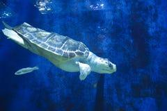 乌龟在坦克游泳在动物园 免版税库存照片