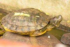 乌龟在池塘 库存照片