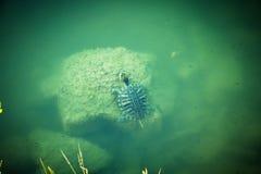 乌龟在海 库存图片
