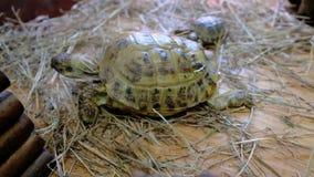 乌龟在联络动物园里 在玻璃容器的草龟 股票录像