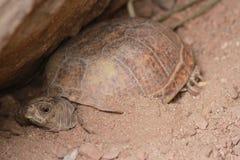 乌龟在菲尼斯动物园里 库存照片