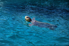 乌龟在水中 库存照片