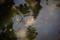 乌龟在水中 免版税库存图片