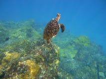 乌龟在费尔南多-迪诺罗尼亚岛 库存照片