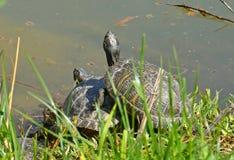 水乌龟夫妇 库存照片