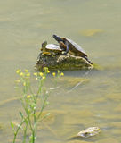 水乌龟夫妇  免版税库存图片