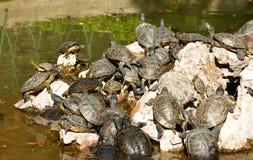 乌龟家庭在池塘-全国庭院雅典希腊 免版税库存照片
