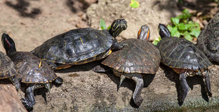 乌龟家庭 库存图片