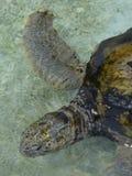 乌龟或草龟游泳的特写镜头 免版税图库摄影