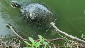 乌龟是爬行动物在池塘 股票录像