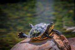 乌龟晒黑-靠岸的和变冷 图库摄影