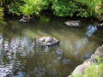 乌龟池塘在洲际的手段和温泉旅馆在帕皮提,塔希提岛,法属玻里尼西亚 免版税图库摄影