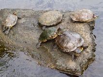 乌龟池塘在洲际的手段和温泉旅馆在帕皮提,塔希提岛,法属玻里尼西亚 库存照片