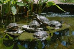 乌龟池塘 免版税库存图片