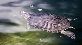 乌龟游泳在一个池塘在动物园里 图库摄影